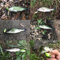 Akiraさんの大分県中津市での釣果写真