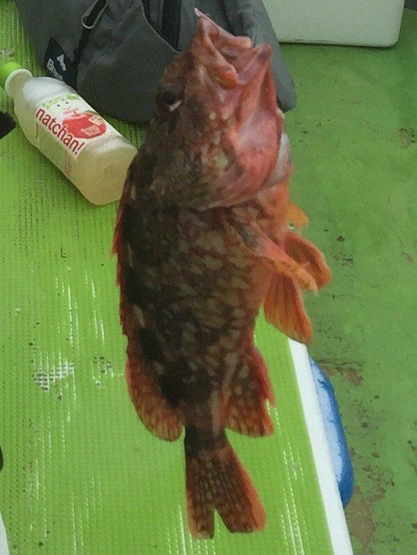 わたるさんの投稿画像,写っている魚はアカカサゴ