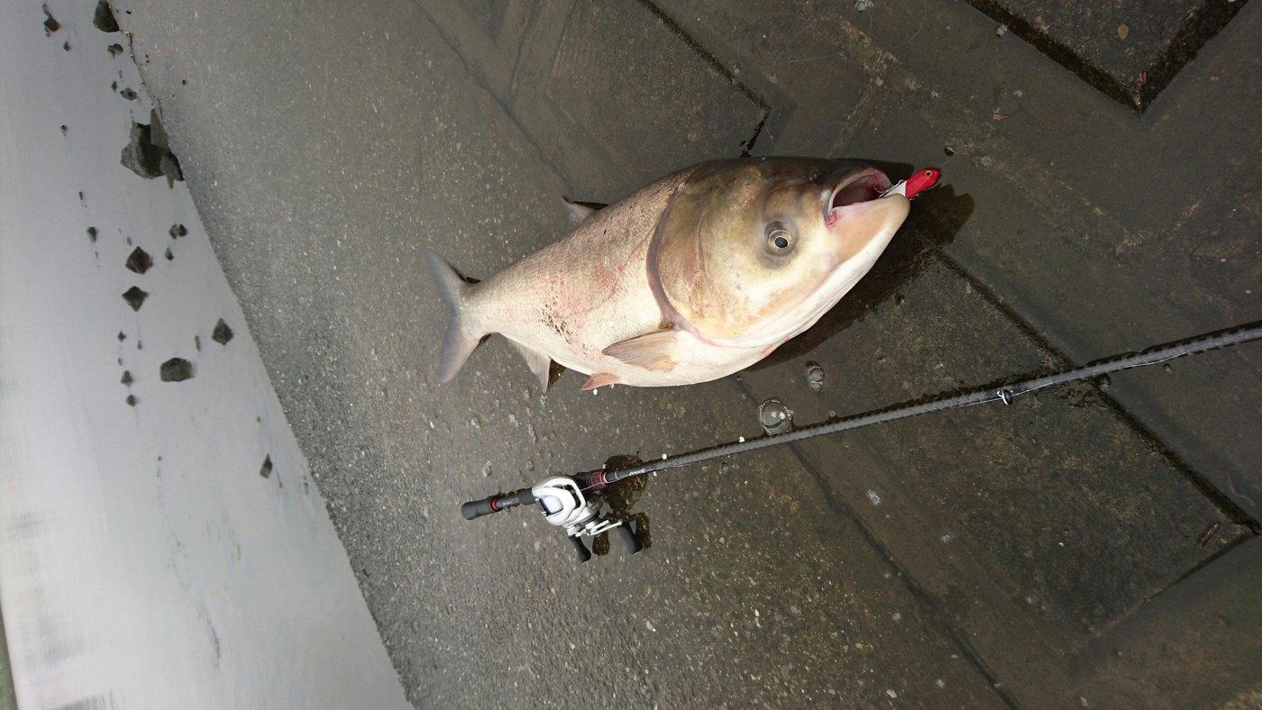 アブさんの投稿画像,写っている魚はハクレン