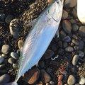 タケオさんの静岡県沼津市でのマサバの釣果写真