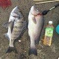 せりなつさんの和歌山県でのクロダイの釣果写真