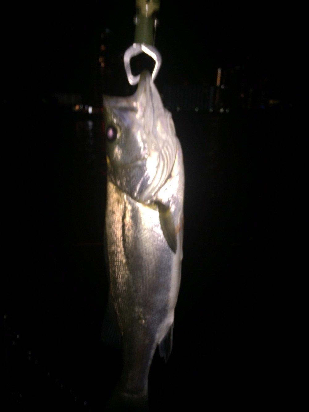 ヘルニアYo2さんの投稿画像,写っている魚はスズキ