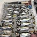 けいごさんの三重県四日市市でのマサバの釣果写真