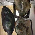 おさむさんの宮崎県日向市でのメジナの釣果写真