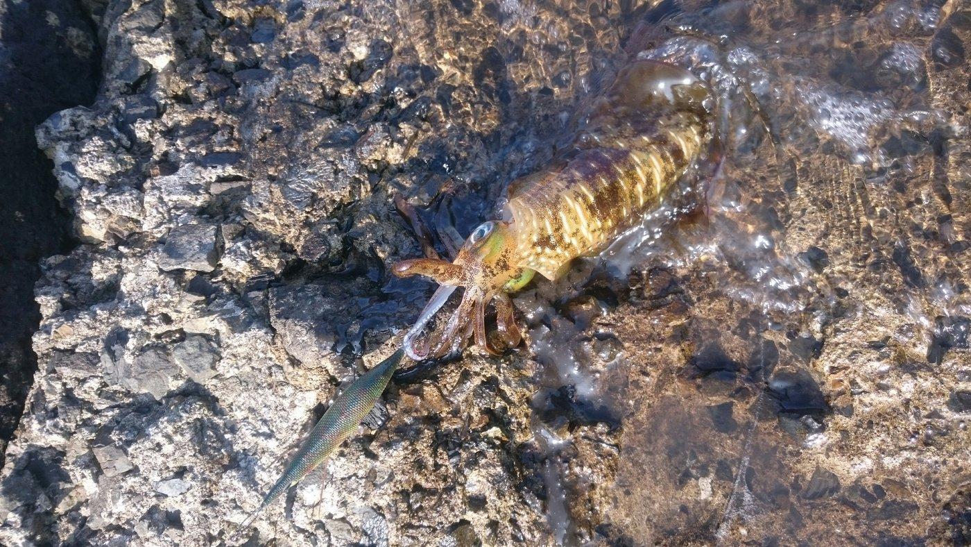 fukutaroさんの投稿画像,写っている魚はアオリイカ