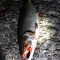 Kookyさんの北海道斜里郡での釣果写真