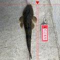鈴菌感染者さんの宮城県宮城郡での釣果写真