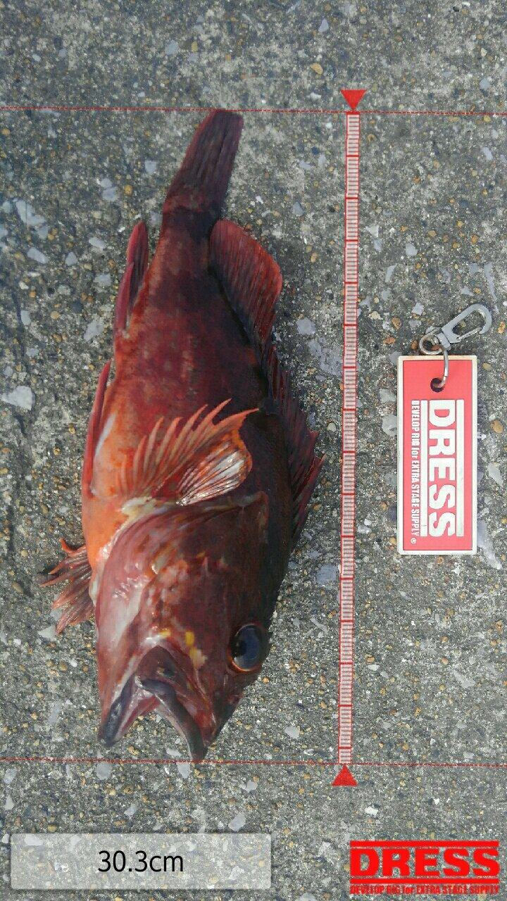 mrfjさんの投稿画像,写っている魚はカサゴ