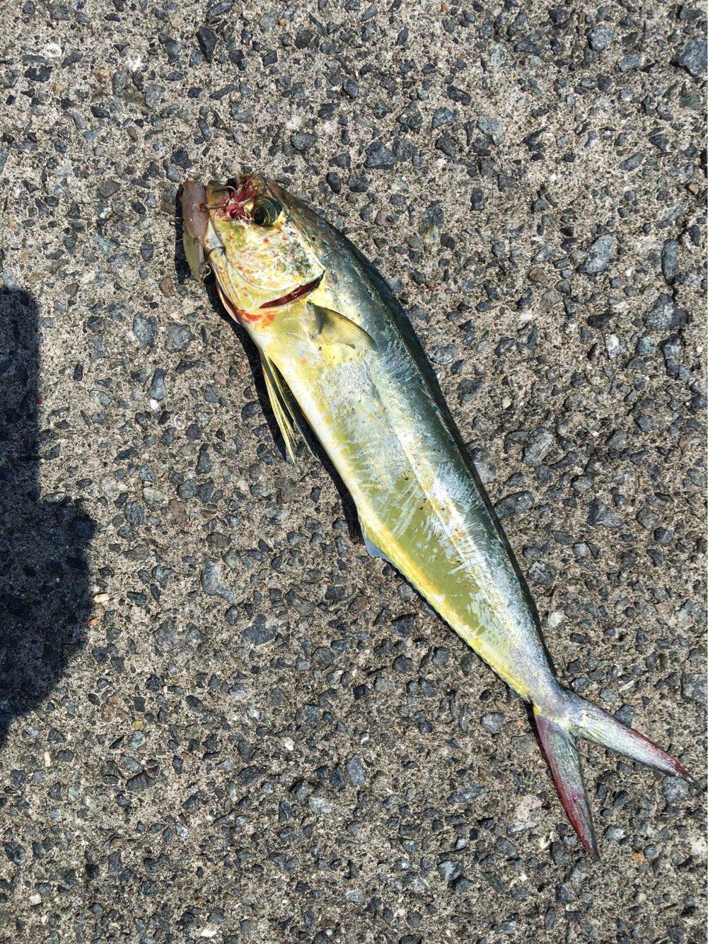 三平さんの投稿画像,写っている魚は