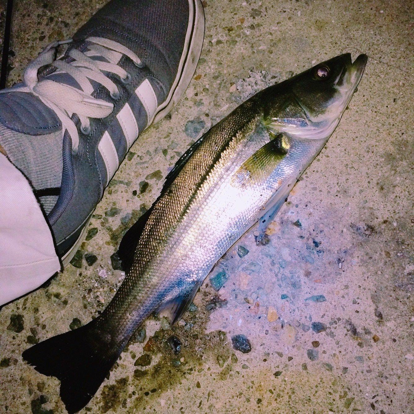 Light®️iggerさんの投稿画像,写っている魚はスズキ