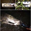 Zeroefficiencyさんの京都府舞鶴市でのスズキの釣果写真