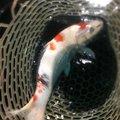 シーアツさんの埼玉県入間市での釣果写真