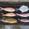 釣りサクさんの静岡県熱海市でのアマダイの釣果写真