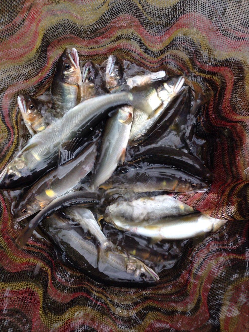 よしたかさんの投稿画像,写っている魚はアユ