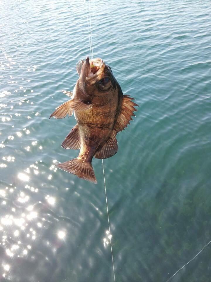 ナギさんの投稿画像,写っている魚はメバル