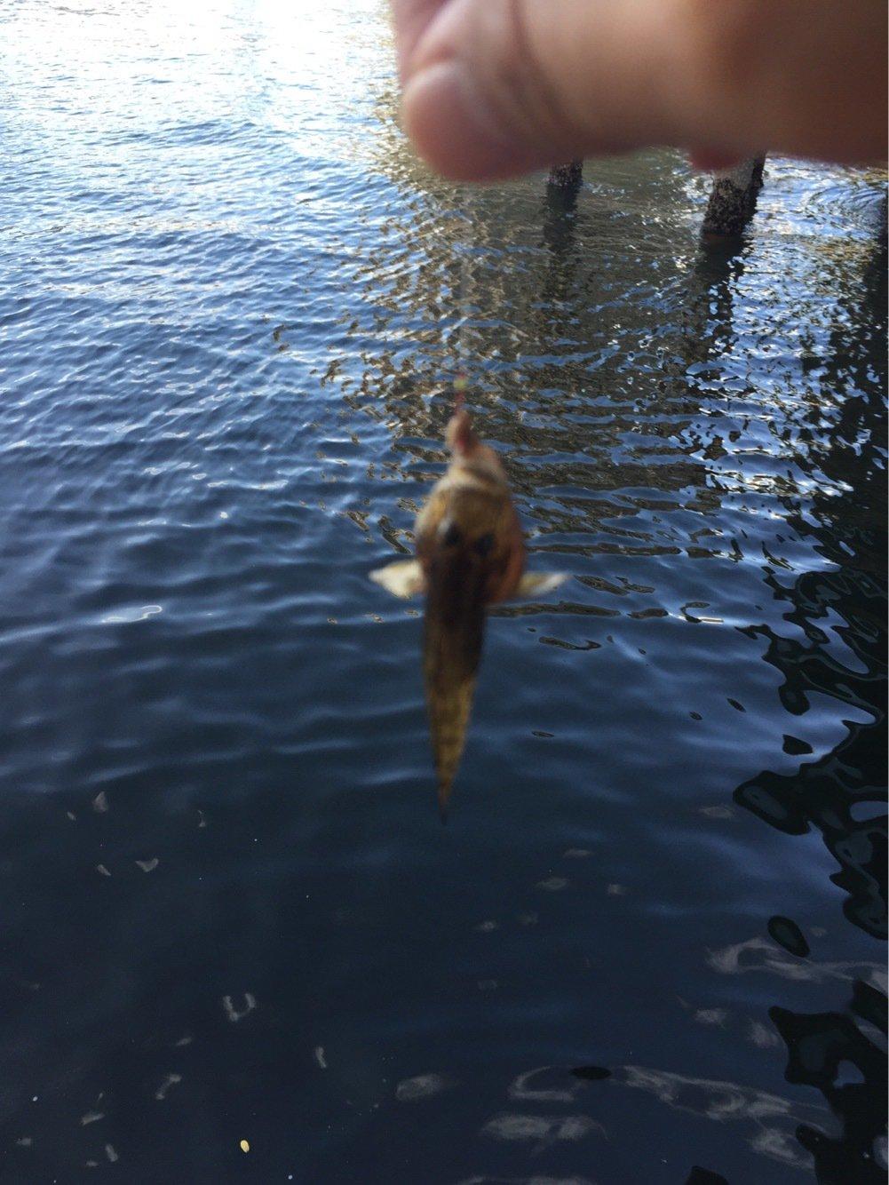 ヘルニアYo2さんの投稿画像,写っている魚はマハゼ