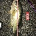 たっくんさんの滋賀県草津市での釣果写真