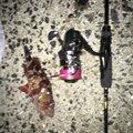 さかもっさんさんの山口県光市でのカサゴの釣果写真