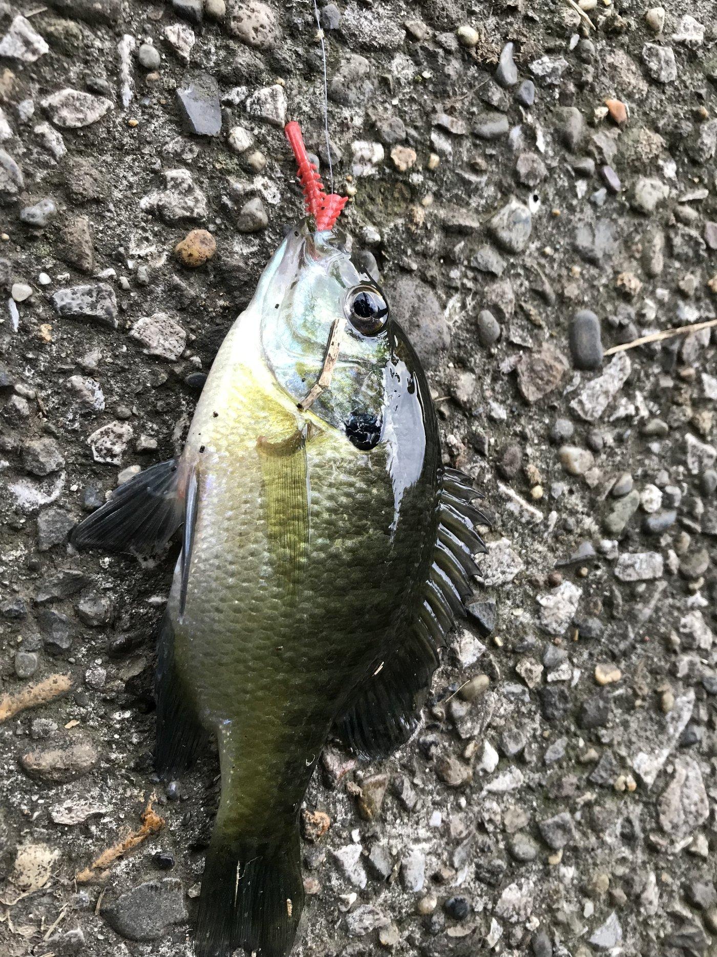 やみさくさんの投稿画像,写っている魚はブルーギル