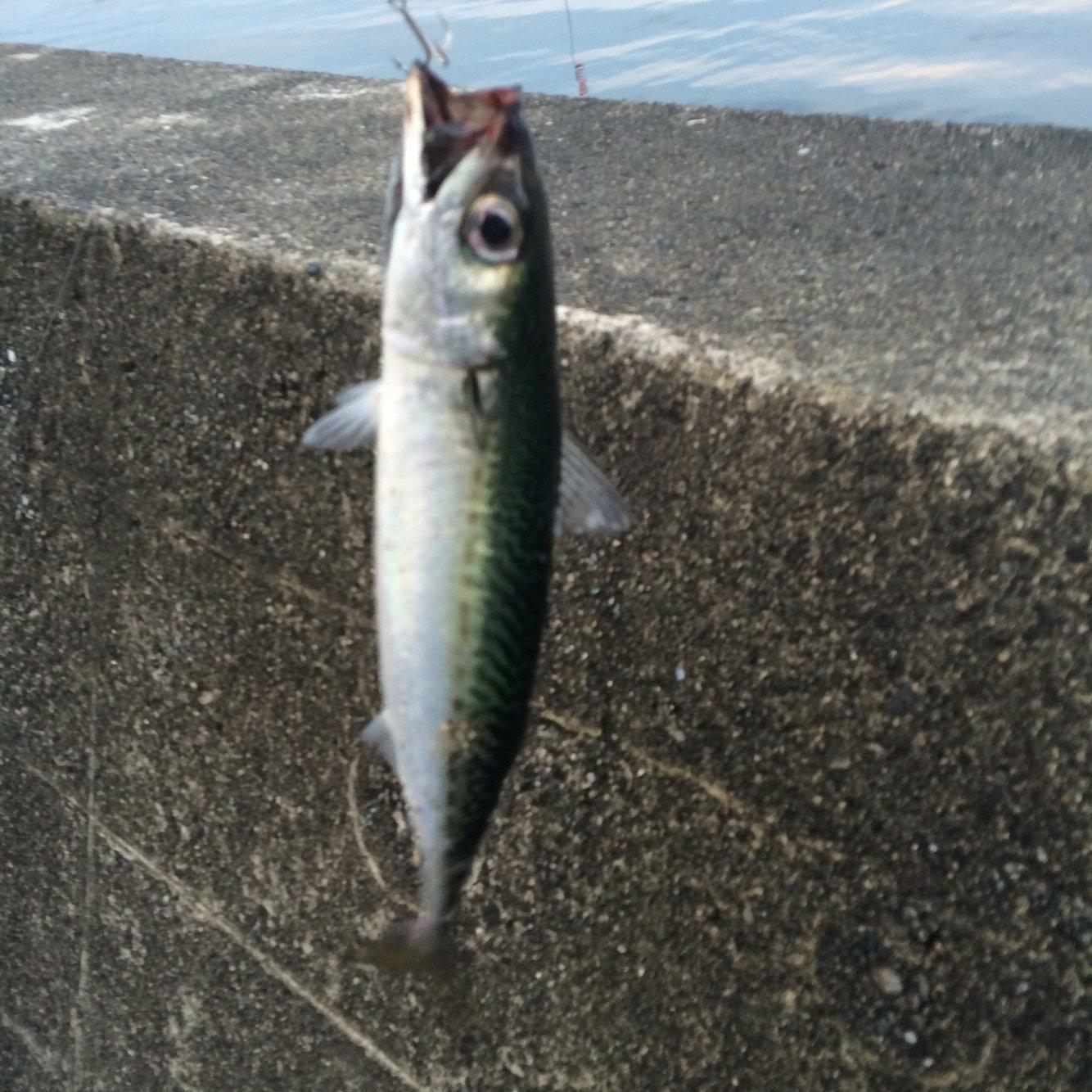 もりたさんの投稿画像,写っている魚はゴマサバ