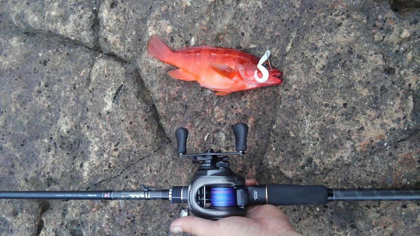 平野 健太さんの投稿画像,写っている魚はアカハタ