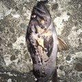 ゆういちさんの北海道石狩郡でのソイの釣果写真
