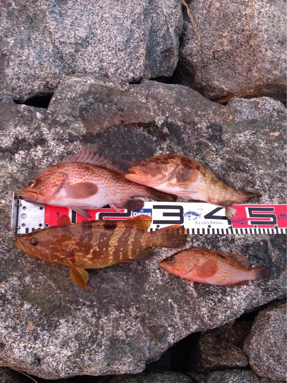 カッキーさんの投稿画像,写っている魚はキジハタ