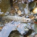 あっちゃんさんの山形県新庄市での釣果写真