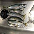 魚おじさんさんの神奈川県厚木市での釣果写真