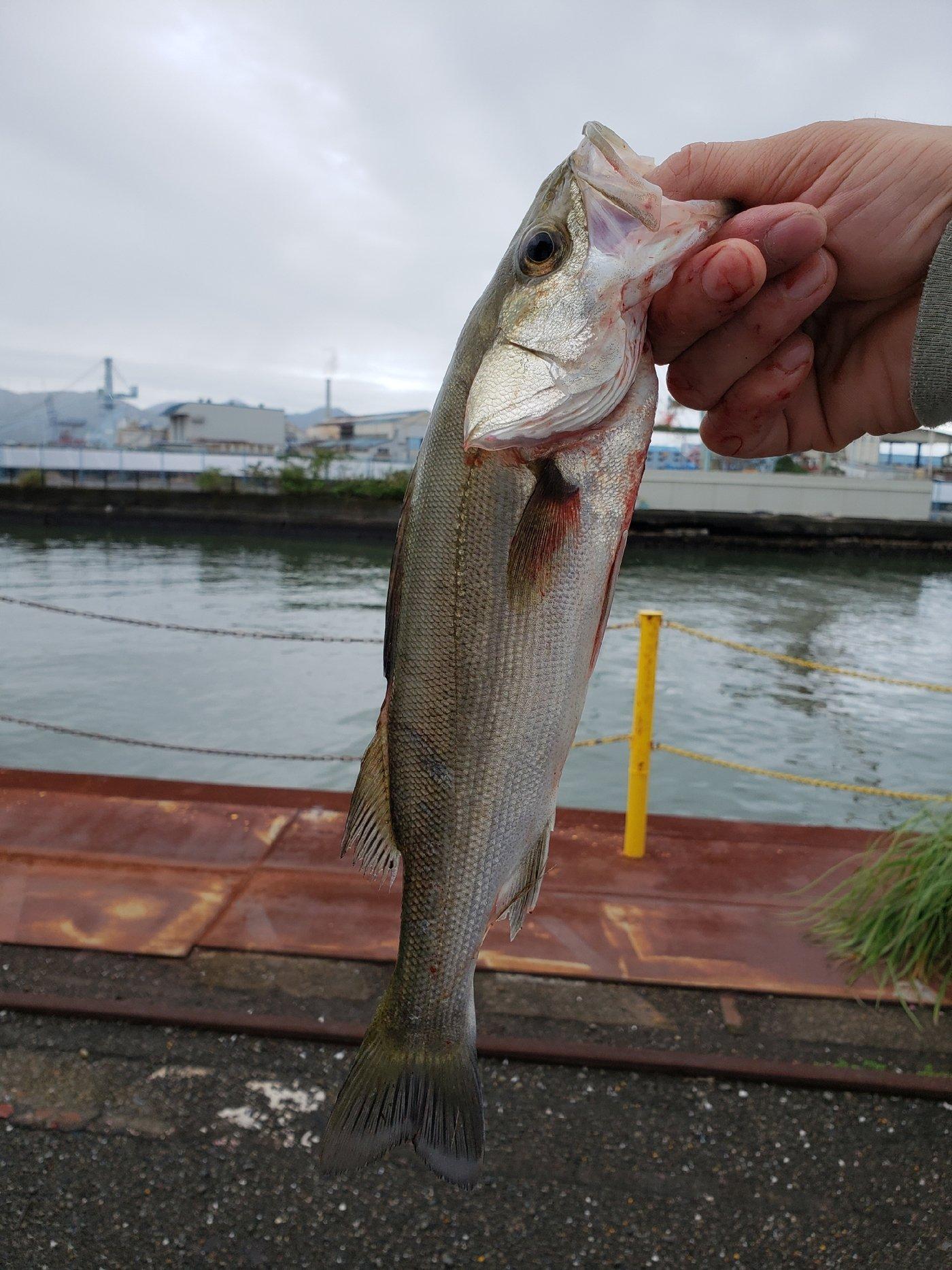 hirop🔧onさんの投稿画像,写っている魚はスズキ