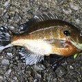 草リグさんの埼玉県でのブルーギルの釣果写真