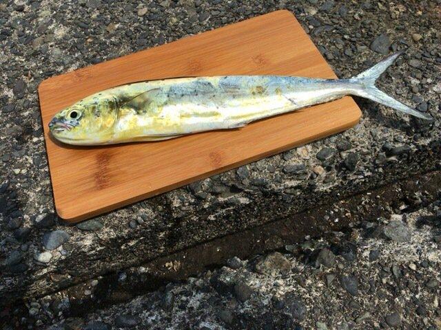 五郎八さんの投稿画像,写っている魚はシイラ