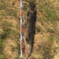 ユッキさんのライギョの釣果写真