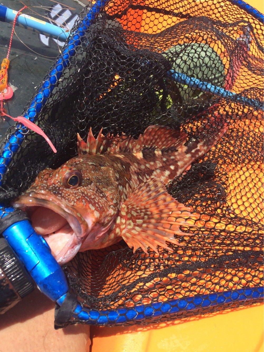 シーバスハンターさんの投稿画像,写っている魚はアカカサゴ