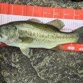 にゃんてぃ〜さんの滋賀県守山市での釣果写真