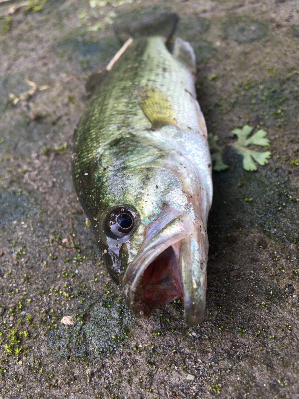 ちょいなちょいなさんの投稿画像,写っている魚はブラックバス