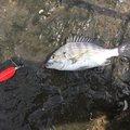 BRITZENさんの千葉県市川市でのクロダイの釣果写真
