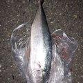 いっさんさんの徳島県板野郡での釣果写真
