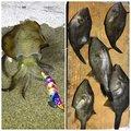 さぶろーさんの福井県敦賀市でのアオリイカの釣果写真