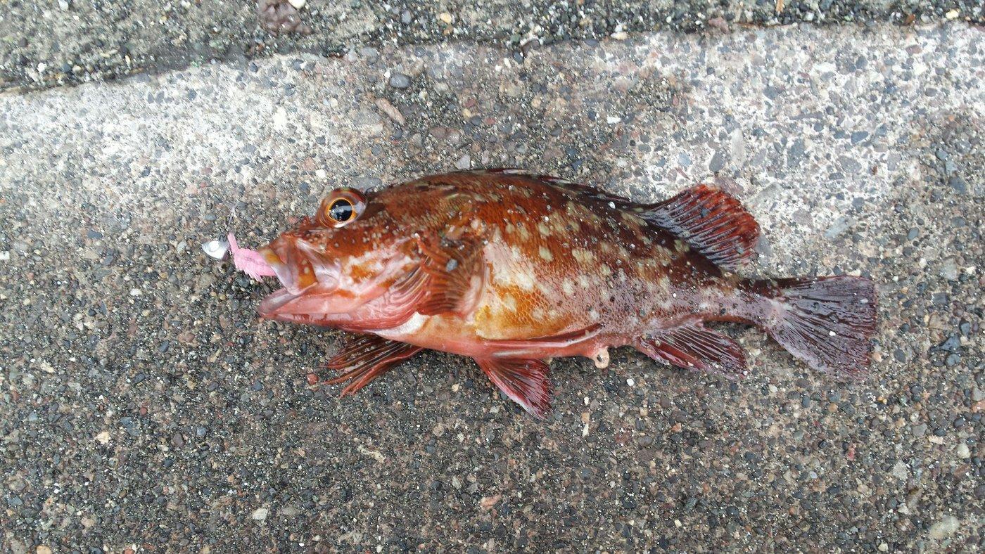 海智さんの投稿画像,写っている魚はカサゴ