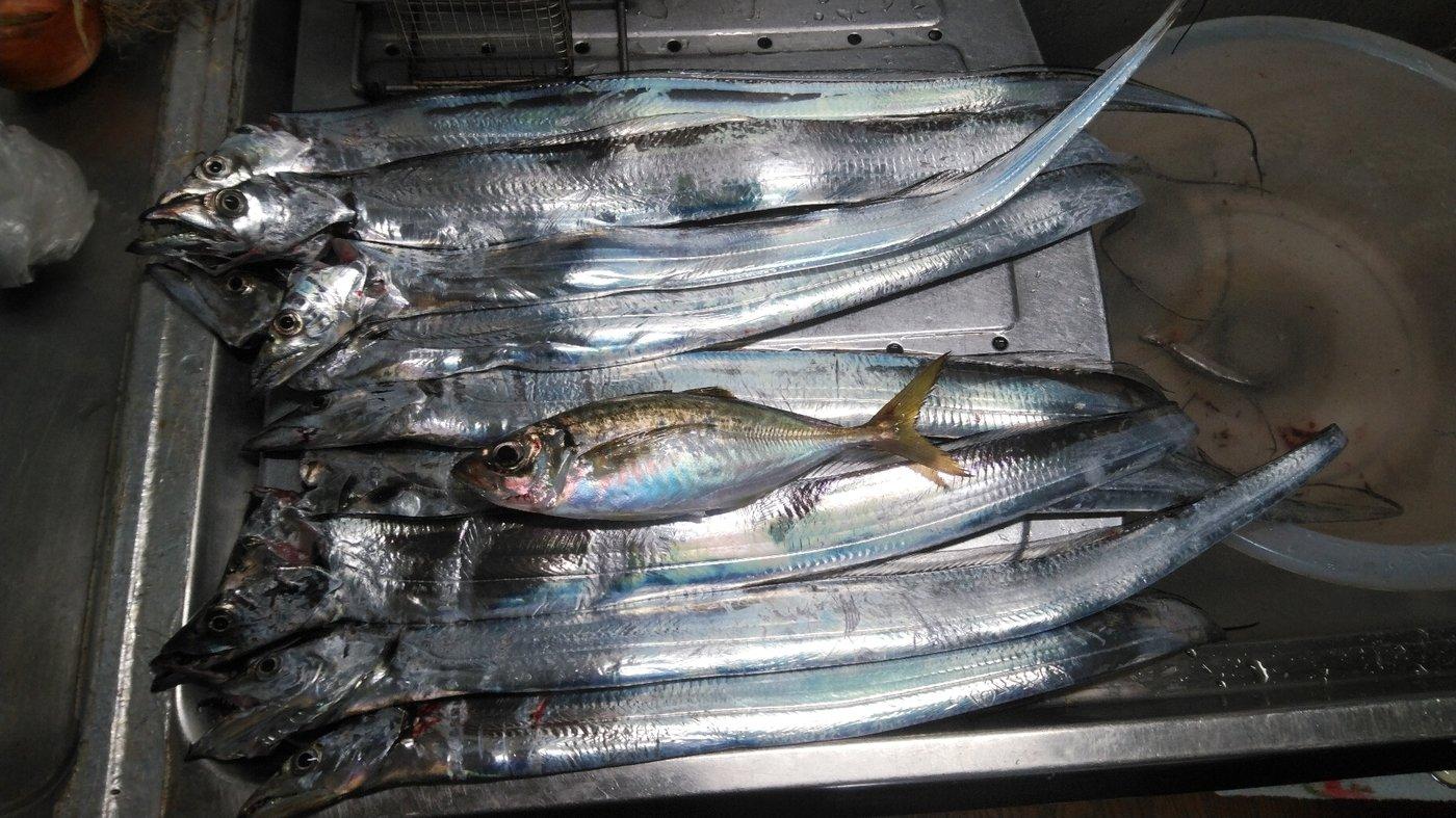 かずくんさんの投稿画像,写っている魚はタチウオ,アジ