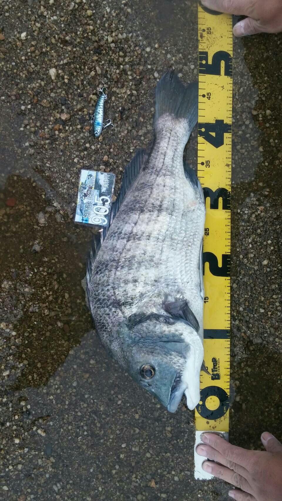 よしよしさんの投稿画像,写っている魚はクロダイ