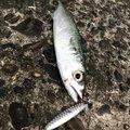 ユースケさんの山口県阿武郡での釣果写真