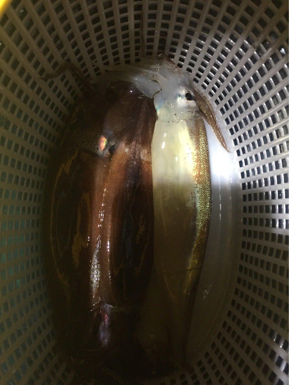 Kタさんの投稿画像,写っている魚はスルメイカ