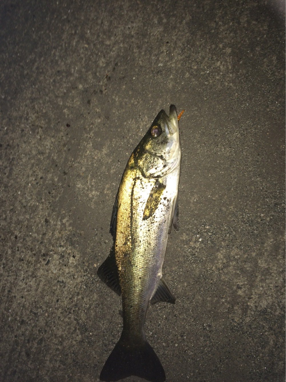 ひろしぺんさんの投稿画像,写っている魚はスズキ