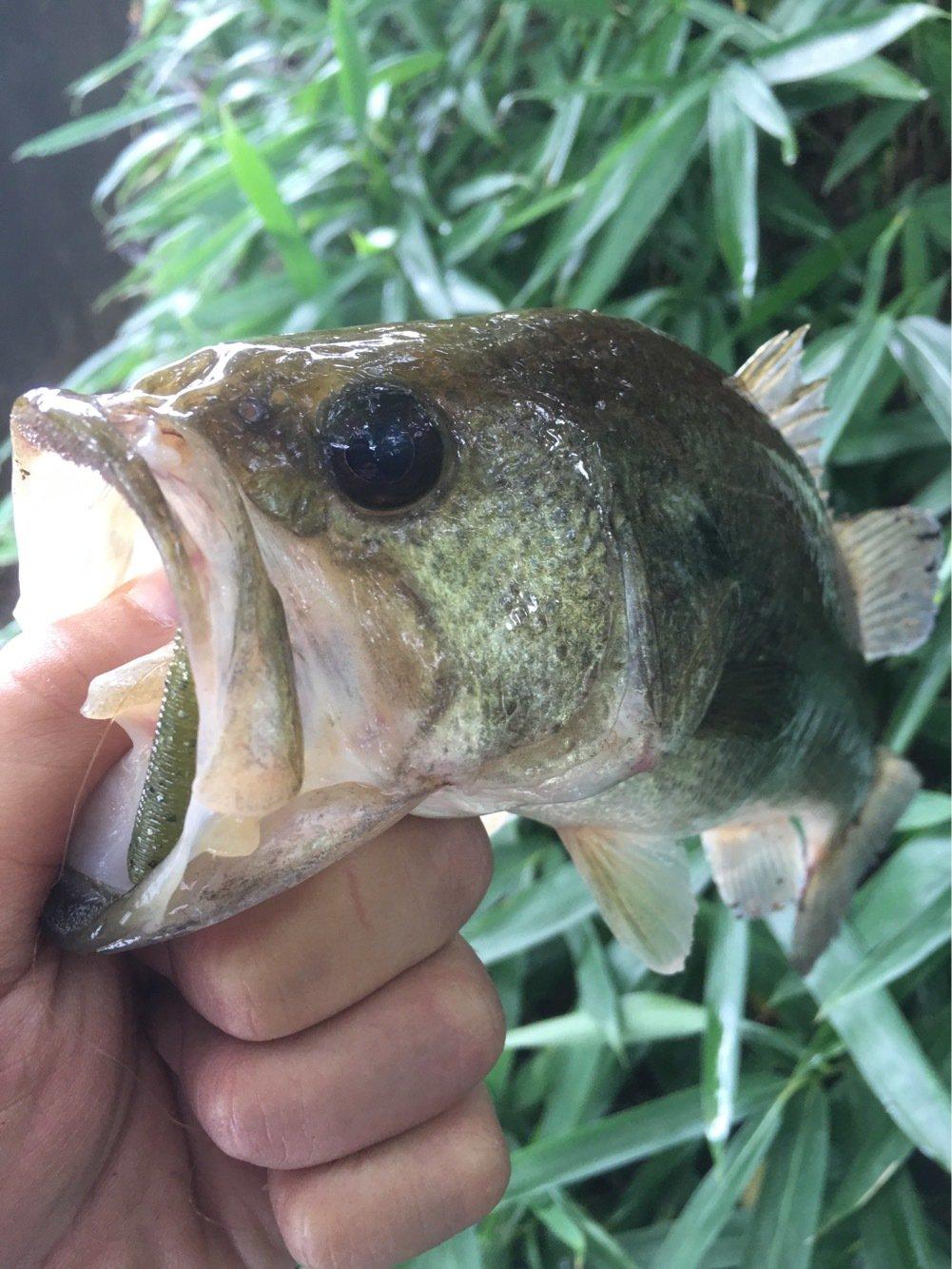 ピラニアさんの投稿画像,写っている魚はブラックバス