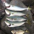 まさしさんの静岡県賀茂郡でのマサバの釣果写真