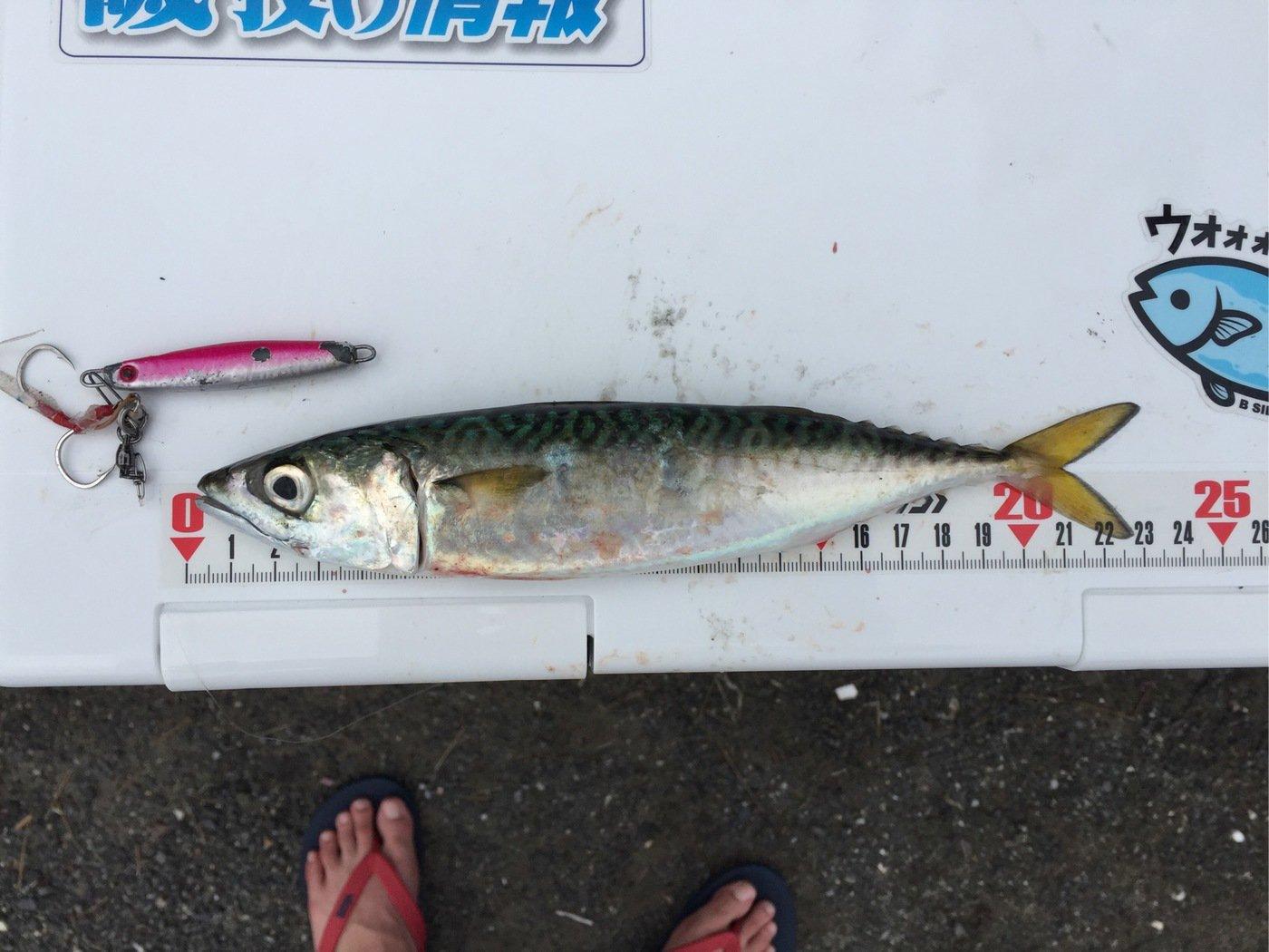 ザキヤマさんの投稿画像,写っている魚はマサバ