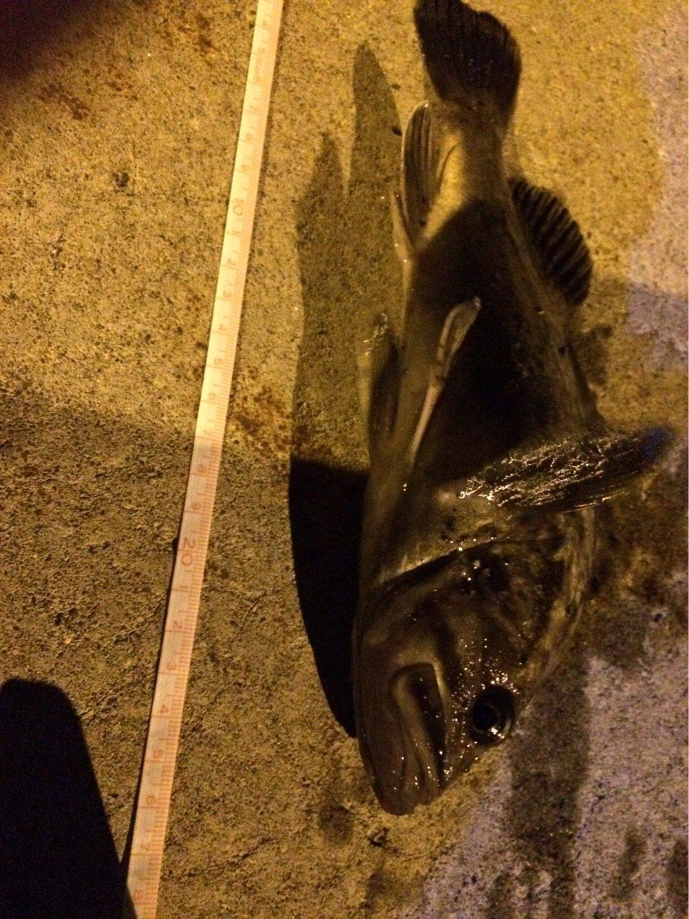 エンティーさんの投稿画像,写っている魚はクロソイ