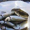 ジュニンヨさんの新潟県糸魚川市での釣果写真